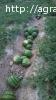Арбузы урожай 2016г оптом