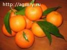 Мандарины из Абхазии