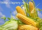 Семена кукурузы (гибриды)