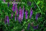 Семена люцерны Багира, Манычская, Славянская