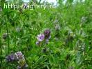 Семена люцерны, эспарцета и суданской травы
