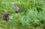 Семена люцерны Манычская, Вега 87, Багира