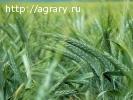 Семена озимого тритикале Хлебороб, Валентин-90