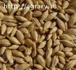 Семена озимого ячменя на посевную 2018