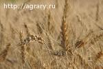 Семена озимой пшеницы Дуплет, Алексеич, Гурт, Таня, Уруп