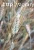 Семена озимой пшеницы на посевную 2018