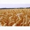 Семена озимой пшеницы Юбилейная 100, Юка, Гром, Таня и др.