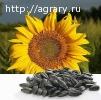 Семена подсолнечника сорта Донской 60, Лакомка, СПК, Орешек