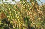 Семена просо Харьковское 57, Золотистое
