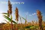 Семена сорго сахарного, зернового, суданкового