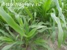 Семена суданской травы Краснодарская 75