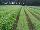 Семена суданской травы на посевную 2018