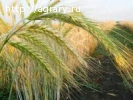 Семена ярового тритикале