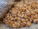 """Семена яровой пшеницы """"Стан"""""""