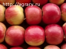 Яблоки АЙДАРЕД оптом от производителя!!!