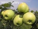 Яблоки АНТОНОВКА оптом от производителя!
