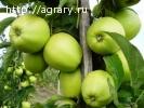 Яблоки от 17 руб/кг от производителя круглый год